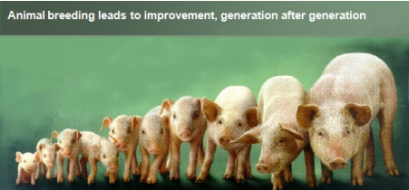 Animal breeding leads to improvement, generation after generation